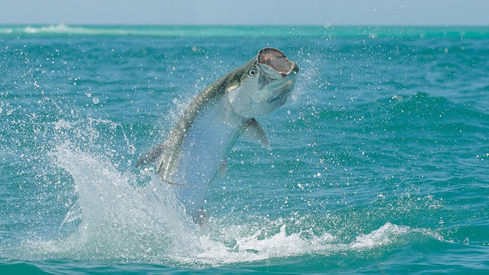 Tarpon season is going out with a bang!